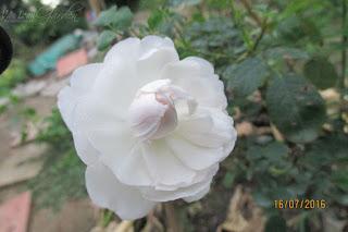Hồng ngoại Glamis Castle khi sắp nở hoàn toàn, phần cánh hoa ở tâm cuộn lại như hạt ngọc trắng muốt
