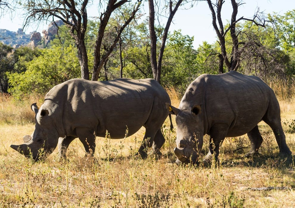 Pair of Rhinos in Matopo Hills National Park