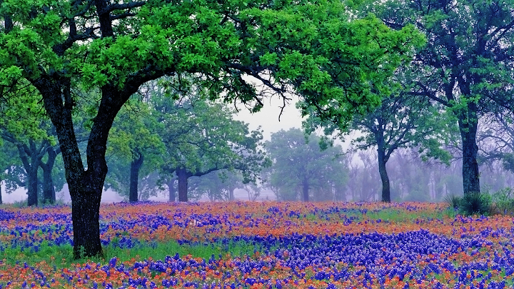 Oak Trees and Blue Bonnets wallpaper