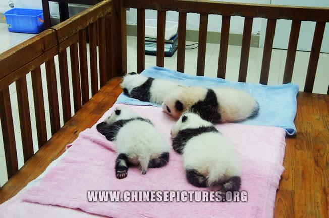 Chinese Panda Babies 2013