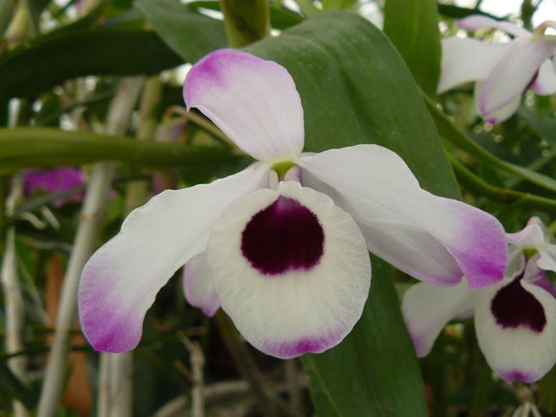 Dendrobium nobile Dendrobium%2520nobile%2520nobilescens%2520%25282%2529