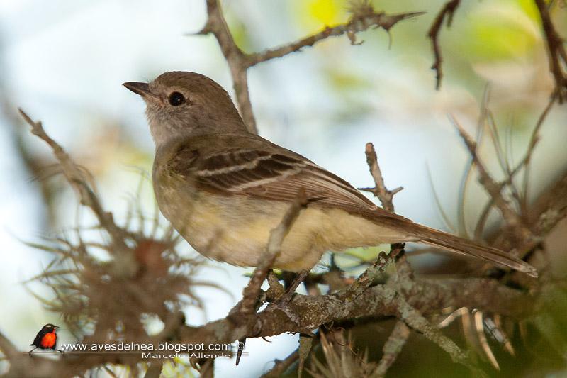 Suirirí pico corto (Southern Scrub-Flycatcher)