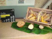 Actividad de Maiz en la Hacienda Buena Vista.