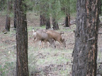 Mule deer: July 11, 2012 (Photo by C. Miller)