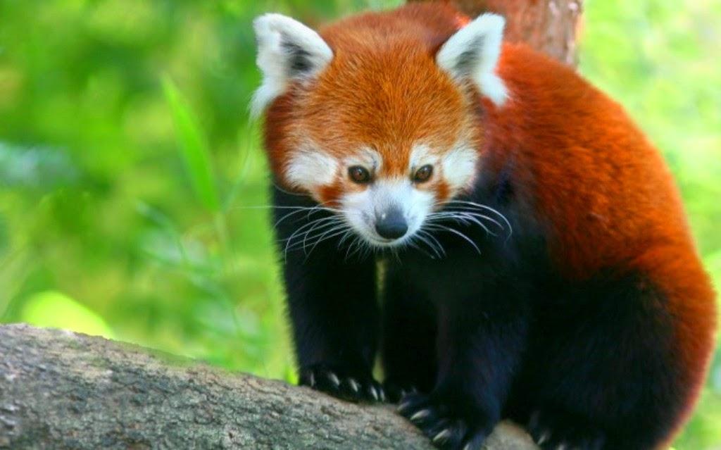 Bienvenidos al nuevo foro de apoyo a Noe #238 / 24.03.15 ~ 27.03.15 Red-Panda%2B2