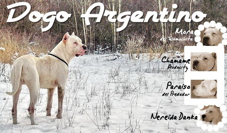 DOGO ARGENTINO, Audacity Chamame