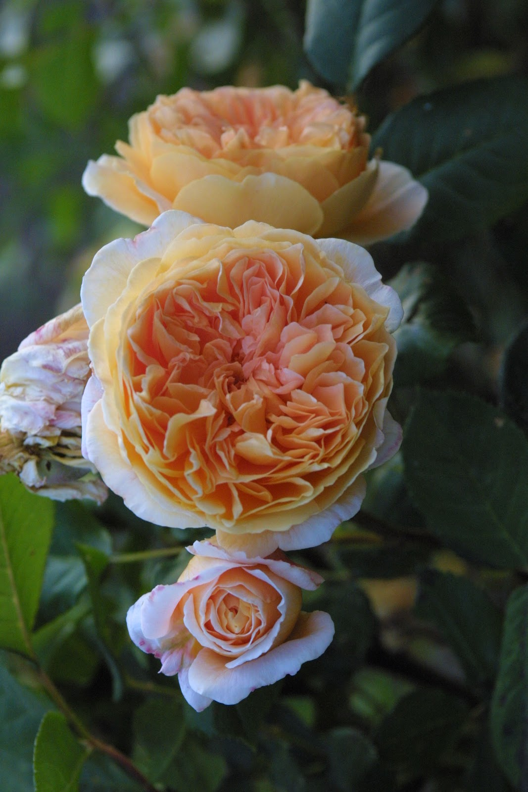 Roses In Garden: For The Love Of Roses
