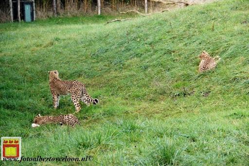 cheetahs vieren hun eerste verjaardag Zoo Parc Overloon (18) 11-11-2012.JPG