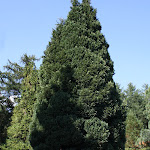 Chamaecyparis lawsoniana fletcherii