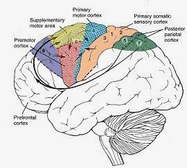 運動皮質(Motor cortex) - 小小...