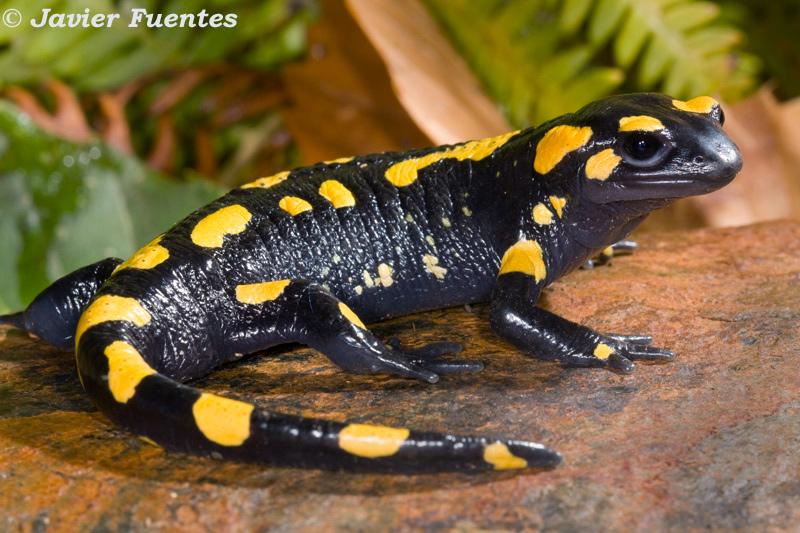 mundodeanimal: Anfibios o Batracios