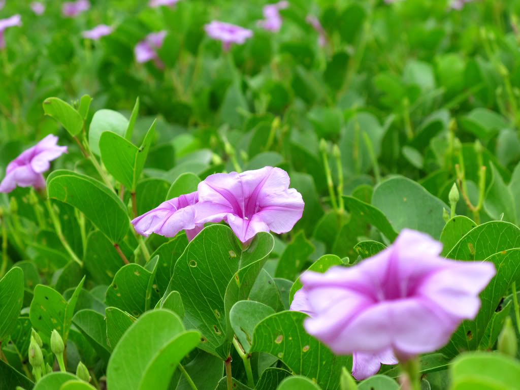 hoa muống biển đẹp