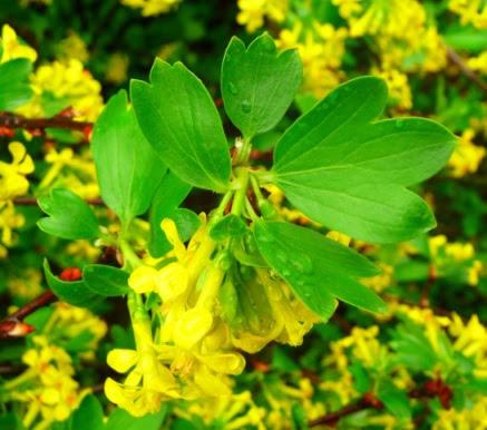 Porzeczka złota Ribes aureum