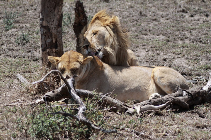 How Do Lions Have Sex 59