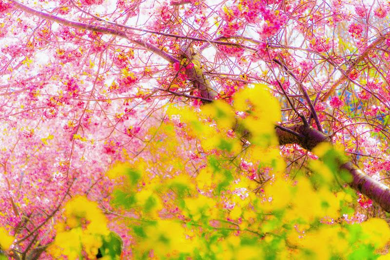 河津桜まつり⑥