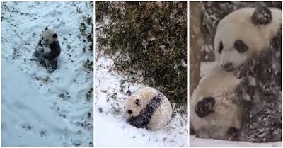 Panda Bebé Curte À Brava O Seu Primeiro Dia De Brincadeira Na Neve Num Vídeo Para Lá De FOFO!!