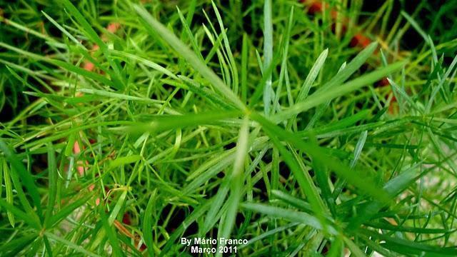 Meu Cantinho Verde Aspargo Alfinete Asparagus