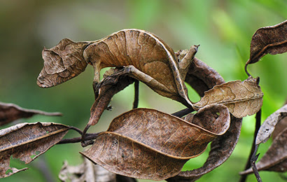 Madagascar's Satanic Leaf-Tailed Gecko