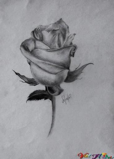 hoa hồng bằng bút chì