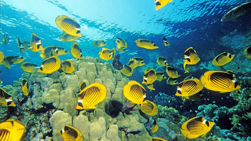 Red Sea Racoon Butterflyfish, Tiran Strait, Red Sea, Egypt.jpg