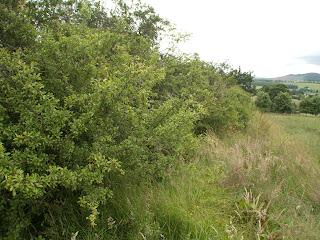 Blackthorn hedge in the Highlands