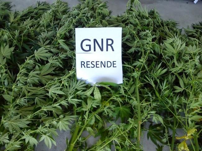 Apreensão de Cannabis em Lamego
