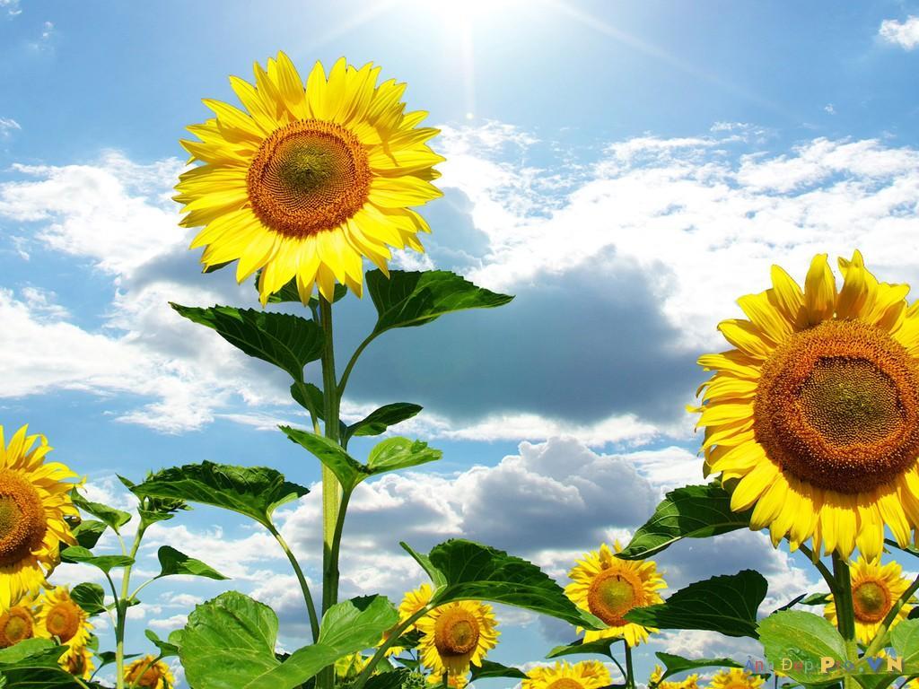 Thơ viết về vẻ đẹp hoa hướng dương, thơ ca ngợi hoa hướng dương