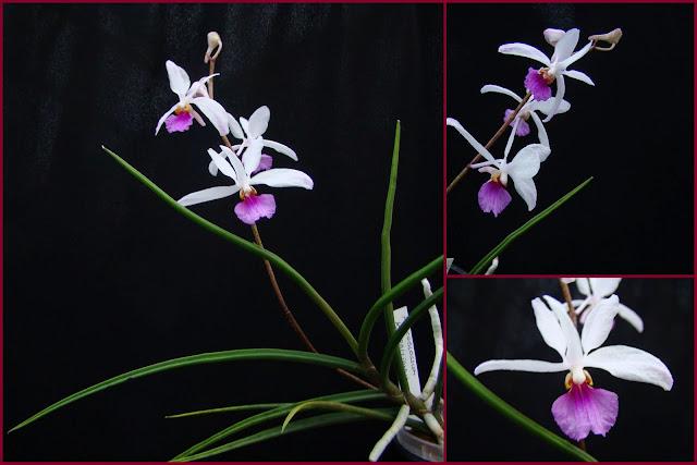 Holcoglossum kimballianum 2014-11-15