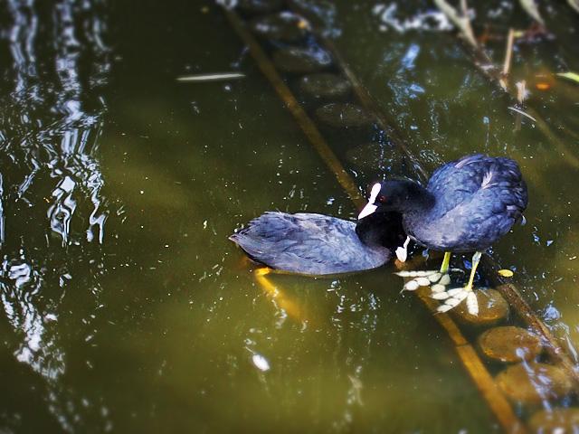Waterfowls