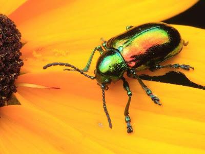 Kumbang Daun Dogbane