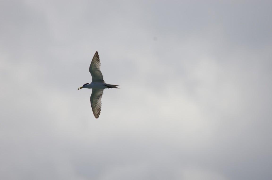 八斗子 - 白腹鰹鳥
