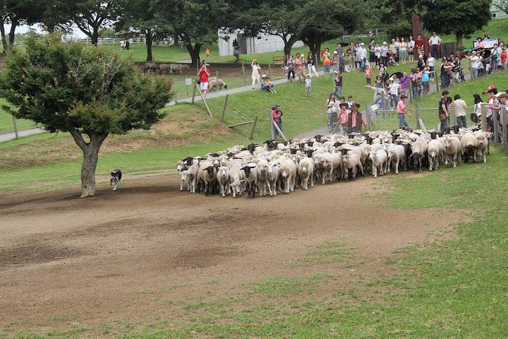 観客の前に登場の羊