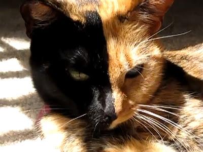 右と左で別の顔を持つ猫「ビーナス」ちゃん