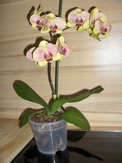 Phalaenopsis hybrid first time flowering after purchase