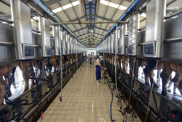Đơn hàng bò sữa cần 3 nữ thực tập sinh làm việc tại Aichi Nhật Bản tháng 04/2017