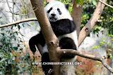 Chinese Panda Photo 3