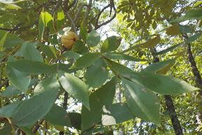 Mockernut Hickory