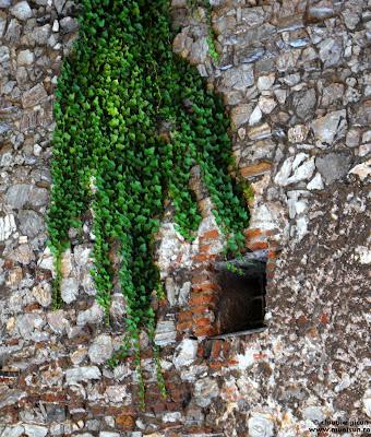 mana verde din edera
