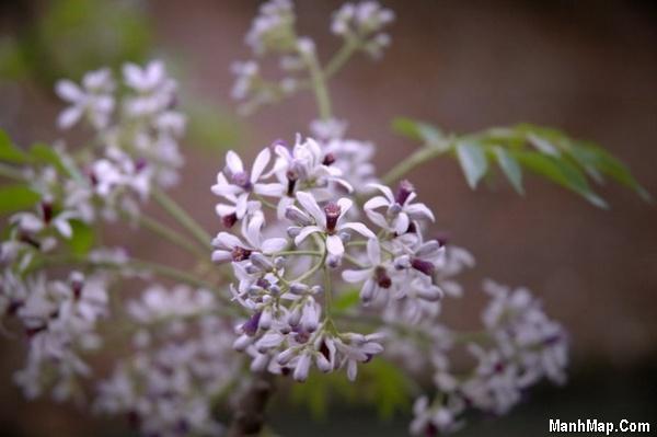 thơ hoa xoan tháng 3