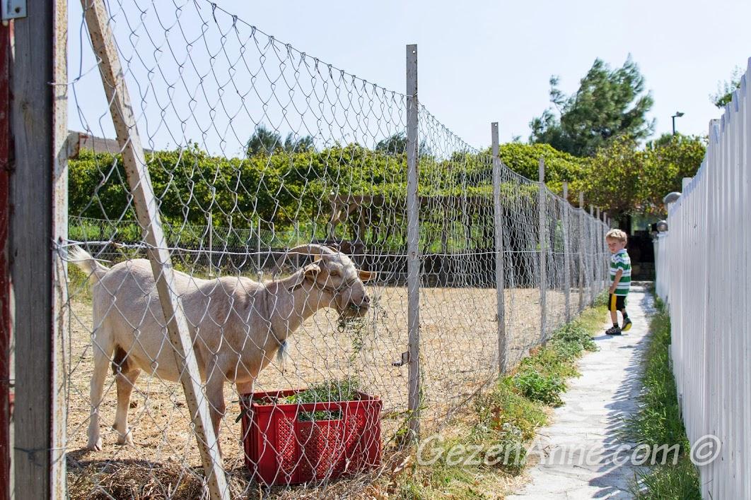 Bozcaada, Aral Tatil Çiftliği'nde keçiyle beraber