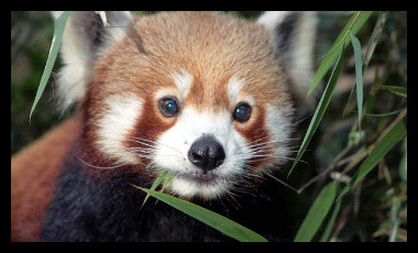 Firefox (animal)