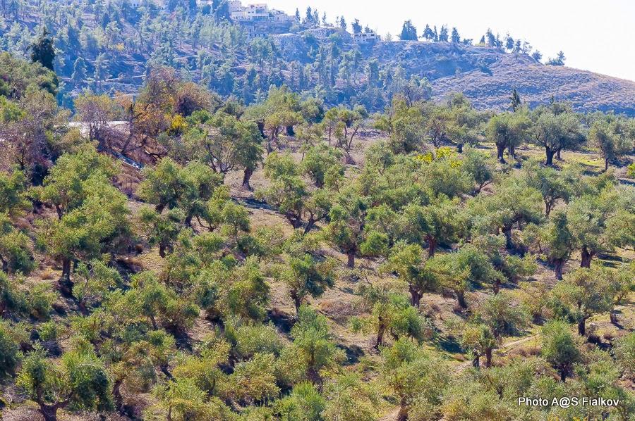 Оливковая роща. Экскурсия по Верхней Галилее. Гид в Израиле Светлана Фиалкова.