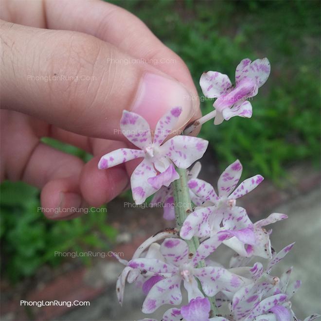 Cận cảnh hoa Lan Sóc Ta