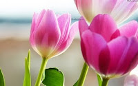 beautiful roses and tulips