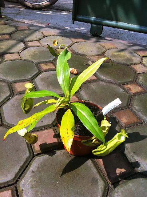 Nepenthes albomarginata x mirabilis