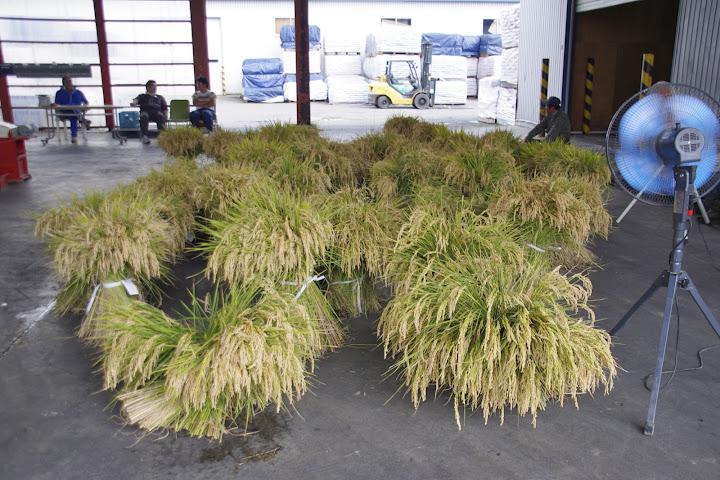 平成23年度水稲収量調査・損害評価(北空知NOSAI)