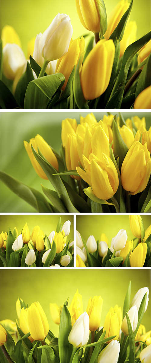 Stock Photo: Yellow and white tulips isolated on green