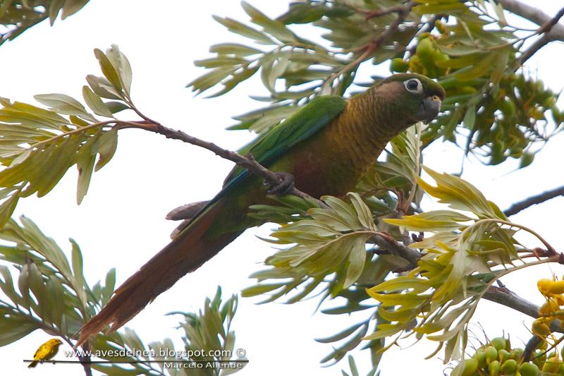 Chiripepé cabeza verde (Reddish-bellied Parakeet)