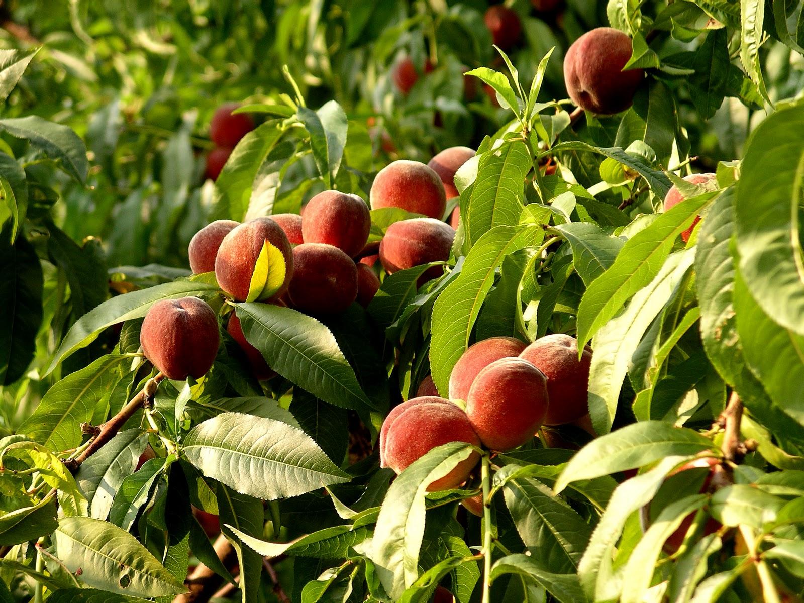 Spring uc davis good life garden for The peach tree