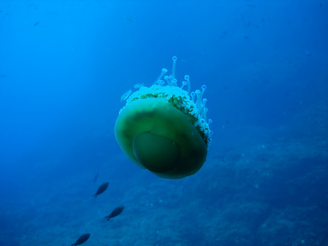 2000: le 26/11 à 5h15 - Disque ou Sphère OSNI - Rasdhoo Atol (Maldives)  - Page 6 Cotylorhiza%252520tuberculata4